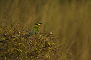 Blue-tailed Bee-eater (Merops philippinis) perched in shrub in the Sundarban Forest, Khulna Province, Bangladesh. - Tim Laman