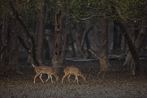 Chital / Axis deer (Cervus / Axis axis) foraging in Sonneratia mangrove forest. The deer are feeding on fallen leaves and fruits and occasionally reaching up to crop leaves. Rhesus monkeys are sometim... - Tim Laman