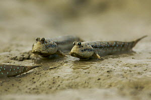 Mudskippers {Periophthalmus sp} forage on the mudflats of a mangrove channel, Sundarban Forest, Khulna Province, Bangladesh.  -  Tim Laman