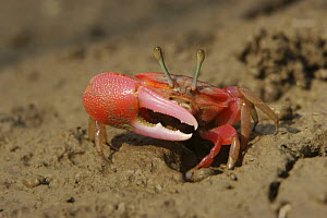 Fiddler crab {Uca sp} emerging from its burrow in the mangrove mud to forage during low tide,  Sundarban Forest, Khulna Province, Bangladesh. - Tim Laman