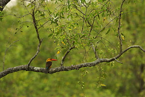 Brown-winged Kingfisher (Pelargopsis amauropterus / Halcyon amauroptera) perched in a tree overhanging a mangrove channel, Sundarban Forest, Khulna Province, Bangladesh. - Tim Laman