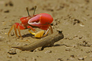 Fiddler crab (Uca sp) emerging from its burrow to forage on the mangrove mudflats at low tide, and mudskipper fish, Sundarban Forest, Khulna Province, Bangladesh. - Tim Laman