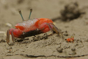 Fiddler crab (Uca sp) emerging from its burrow to forage on the mangrove mudflats at low tide, Sundarban Forest, Khulna Province, Bangladesh. - Tim Laman
