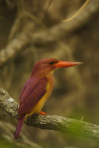 Ruddy Kingfisher (Halcyon coromanda) perched in the mangrove forest, Sundarban Forest, Khulna Province, Bangladesh. - Tim Laman