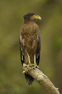 Crested Serpent Eagle (Spilornis cheela) perched along the side of a mangrove channel, Sundarban Forest, Khulna Province, Bangladesh. - Tim Laman