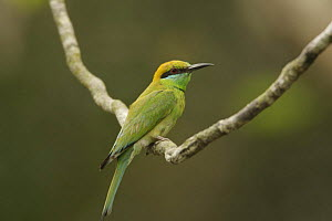Little Green Bee-eater (Merops orientalis) perched in the Sundarban Forest, Khulna Province, Bangladesh. - Tim Laman