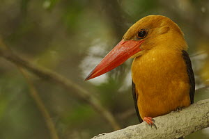 Brown-winged Kingfisher (Pelargopsis amauropterus / Halcyon amauroptera) perched along a mangrove channel, Sundarban Forest, Khulna Province, Bangladesh. - Tim Laman