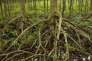 Mangrove (Rhizophora apiculata) trees in a protected area of the Matang mangrove forest. Taiping vicinity, Perak, Malaysia. May 2006  -  Tim Laman