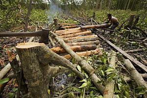 Logging in the Matang mangrove forest, where (Rhizophora apiculata) trees are grown for 30 years and then harvested for charcoal production. This hundred year old program is considered the best manage...  -  Tim Laman