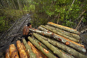 Stacking logs by the river for transport to charcoal kilns. Logging in the Matang mangrove forest, where (Rhizophora apiculata) trees are grown for 30 years and then harvested for charcoal production.... - Tim Laman