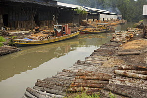 Logs stacked near the charcoal kilns. Charcoal production near Taiping, Malaysia, where (Rhizophora apiculata) mangrove wood from the Matang Mangroves is used to produce charcoal using traditional met... - Tim Laman