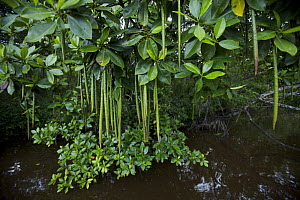 A (Rhizophora sp) mangrove tree with propagules hanging from its branches. Asmat Region, Papua, Indonesia - Tim Laman
