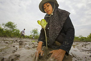 Fisherman and volunteers from the Mangrove Action Project work to plant mangrove seedlings in abandonned shrimp ponds near Jaring Halus Village, North Sumatra. Dykes have been opened to restore natura... - Tim Laman