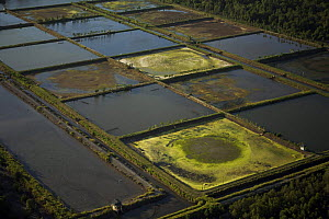 Aerial view of shrimp ponds carved out of mangrove forest in the Sarawak Mangrove Reserve area, Sarawak, Borneo, Malaysia. June 2006. Several shrimp ponds have been abandoned. - Tim Laman