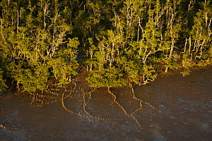 Aerial view of {Sonneratia sp} mangrove forest and adjacent mudflat at low tide, Lines of breathing roots are visible protruding from the mud radiating out from the trees. Bako National Park, Sarawak,... - Tim Laman