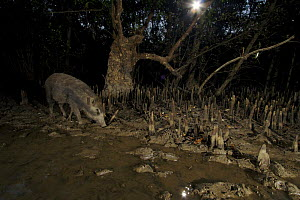 A wild boar (Sus scrofa) feeding in Sonneratia mangrove forest at night at low tide. Sundarbans Forest, Khulna Province, Bangladesh. - Tim Laman