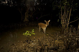 Axis / Chital deer {Axis axis) in Sonneratia mangrove forest at night, Sundarban Forest, Khulna Province, Bangladesh. - Tim Laman