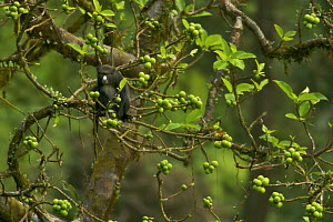 Putty-nosed guenon (Cercopithecus nictitans stampflii) male feeding in fig (Ficus sp) tree. Endemic subspecies to Bioko Island, Equatorial Guinea, January - Tim Laman