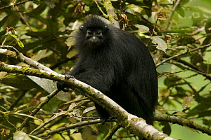 Bioko black colobus (Colobus satanas satanas) monkey in rainforest, Endangered Species, Bioko Island, Equatorial Guinea, January - Tim Laman