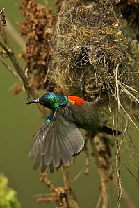 Northern Double-collared Sunbird (Cinnyris reichenowi) male at nest, Bioko Island, Equatorial Guinea, January - Tim Laman