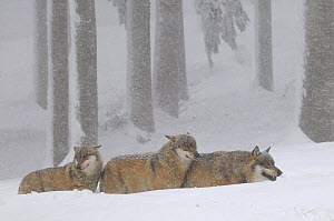 Three Grey wolves (Canis lupus) in snow, captive, Bayerischer Wald / Bavarian Forest National Park, Germany  -  Jouan & Rius
