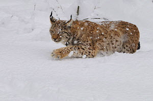 Eurasian lynx (Lynx lynx) walking through snow, captive, Bayerischer Wald / Bavarian Forest National Park, Germany  -  Jouan & Rius