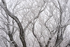 Frost covered branches, Ballon des Vosges Nature Park, Haut Rhin, Alsace, France, December 2008 - Jouan & Rius