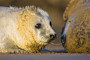 Young Grey Seal {Halichoerus grypus} taking a break from suckling from mother, Donna Nook, Lincolnshire, England, January - Guy Edwardes