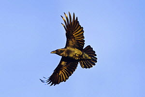 Common raven {Corvus corax} in flight, Gigrin Farm, Rhayader, Powys, Wales, UK, January  -  Guy Edwardes