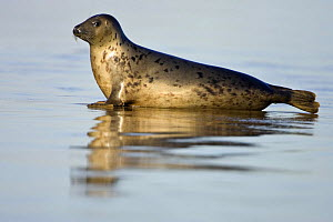 Grey Seal {Halichoerus grypus} reflected on wet sandy beach, Donna Nook, Lincolnshire, England, January  -  Guy Edwardes