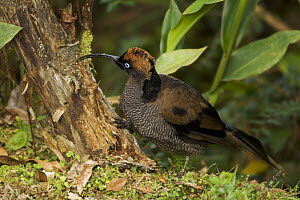 Immature male Brown Sicklebill {Epimachus meyeri} showing transitional plumage to adult male, foraging for insects in a tree stump, Mt. Hagen, Enga Province, Papua New Guinea. - Tim Laman