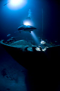 "Caribbean reef sharks (Carcharhinus perezi) at night on wreck of the ""'Ray of Hope'', Bahamas. July 2008.  -  Michael Pitts"