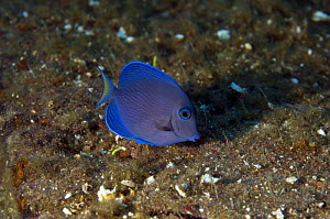 Blue Tang (Acanthurus coeruleus) grazing on hull of the wreck of the ''Blue Plunder'', Bahamas. August 2008.  -  Michael Pitts