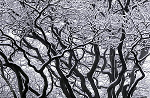 Common beech (Fagus sylvatica) branches covered in snow against a white sky, Beaminster Down, Dorset, England, March - Guy Edwardes