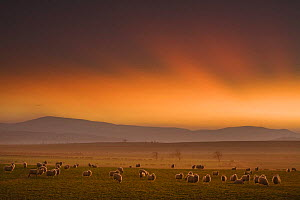 Sunset over the Cheviot Hills with flock of sheep in the foreground, Northumberland, England, February 2008 - Guy Edwardes