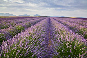 Lavender field {Lavandula sp}, Plateau De Valensole, Provence, France, July 2008 - Guy Edwardes
