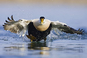 Eider (Somateria mollissima) male taking off from water, Seahouses, Northumberland, England, February  -  Guy Edwardes