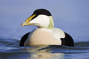 Eider (Somateria mollissima) male on water, Seahouses, Northumberland, England, February  -  Guy Edwardes