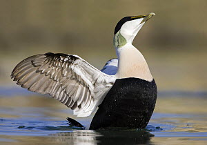 Eider (Somateria mollissima) male on water, stretching, Seahouses, Northumberland, England, February  -  Guy Edwardes