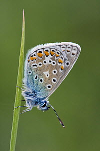 Common blue butterfly (Polyommatus icarus) resting on grass, Dorset, England, May - Guy Edwardes