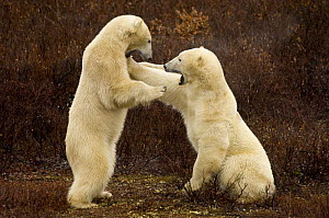Two polar bears (Ursus maritimus) play fighting, Churchill, Hudson Bay, Manitoba, Canada. October 2005  -  Inaki Relanzon