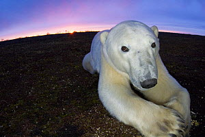 Fish-eye image of Polar bear (Ursus maritimus) resting on tundra, Churchill, Hudson Bay, Manitoba, Canada, October 2005  -  Inaki Relanzon