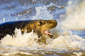 Grey / Atlantic seal (Halichoerus grypus) adult in surf, Donna Nook National Nature Reserve, Lincolnshire, UK, November - Inaki Relanzon