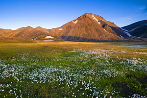 Volcanic landscape with Cotton grass (Eriophorum sp) on the way to Landmannalaugar, south Iceland, July 2008  -  Inaki Relanzon