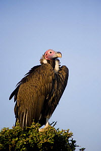Lappet-faced / Nubian vulture (Torgos tracheliotos) perched in tree, Masai Mara Reserve, Kenya. August  -  Inaki Relanzon