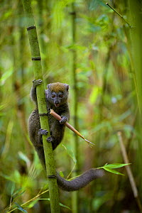 Eastern Grey Bamboo Lemur (Hapalemur griseus) feeding on bamboo shoot, Andasibe-Mantadia National Park, Madagascar, October - Inaki Relanzon