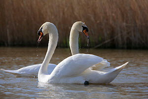 Mute swan (Cygnus olor) courtship, Somerset, UK, Spring 2009 - John Waters