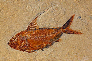 Fossilised fish (Nematonotus longispinus) from the Cretaceous period, Lebanon  -  John Cancalosi