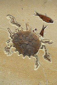 Fossilised Softshell turtle, from the Eocene period, Specimen Courtesy Geo Decor, Green River Formation, Wyoming, USA - John Cancalosi
