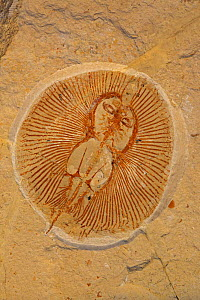 Fossil Ray (Cyclobatis minor) from the Cretaceous period (96 mya) Houla, Lebanon  -  John Cancalosi